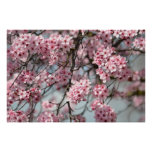 Cherry Blossom Tree Posters