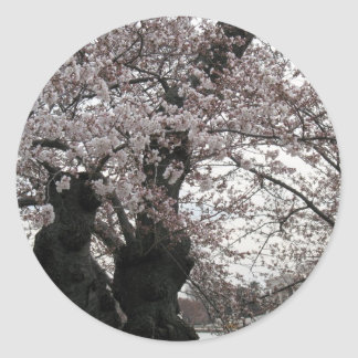 cherry blossom Washington dc Sticker