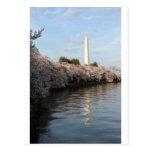 Cherry Blossom Washington monument Post Cards