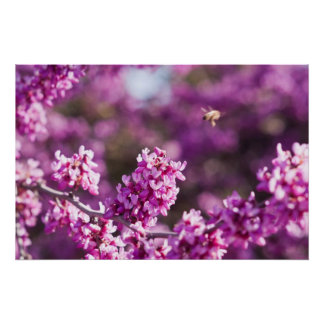 Cherry Blossoming Poster
