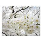 Cherry Blossoms 12 Print