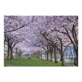 Cherry blossoms along Willamette river, USA Photo Print