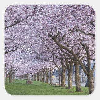 Cherry blossoms along Willamette river, USA Square Sticker