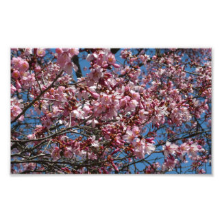 Cherry Blossoms and Blue Sky Spring Floral Photo Print