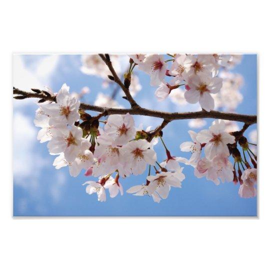 Cherry blossoms and light-blue sky photo print