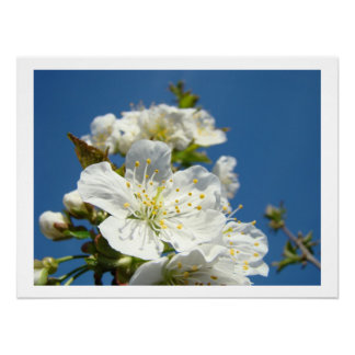 Cherry Blossoms Fine art prints Spring Blue Sky Print
