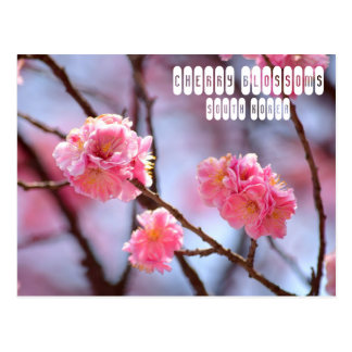 Cherry Blossoms in South Korea Postcard