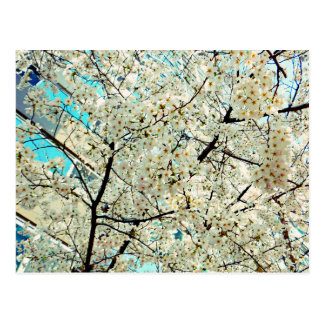 Cherry Blossoms in the Sun Postcard