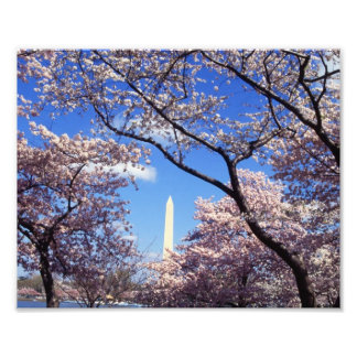 Cherry Blossoms in Washington D C Photograph