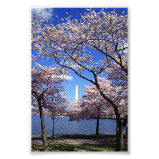 Cherry Blossoms in Washington D C Art Photo