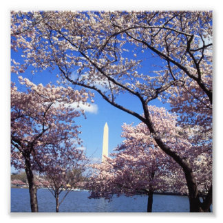 Cherry Blossoms in Washington D C Photo