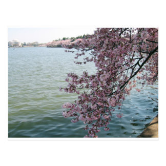 Cherry Blossoms in Washington DC Post Cards