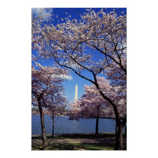 Cherry Blossoms in Washington DC poster print
