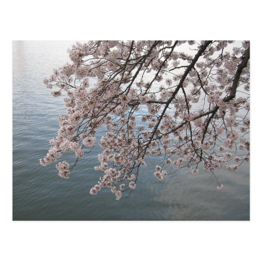 cherry blossoms over tidal basin postcard