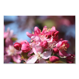 Cherry Blossoms Photo Print
