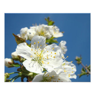 Cherry Blossoms Photography prints Spring Flowers Photograph
