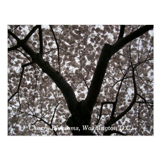 Cherry Blossoms, Washington D.C. Postcard
