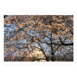 Cherry Blossoms Washington DC Post Card