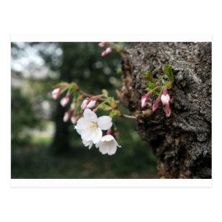Cherry Blossoms Washington DC Post Cards