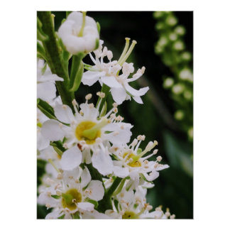 Cherry Laurel Poster