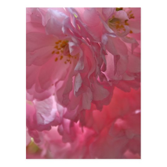 Cherry Trees Beautiful Pink Blossom Post Card