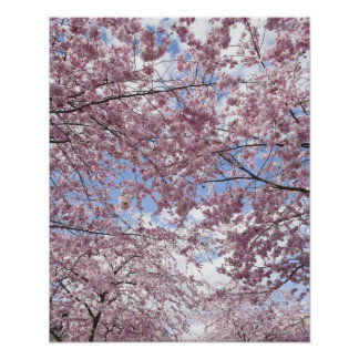 Cherry trees in blossom print