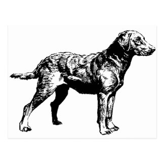 Chesapeake_Bay_Retriever_drawing.png Postcard