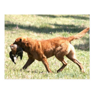 chesapeake bay retriever retrieving.png postcard