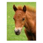 Chesnut foal, baby horse postcard