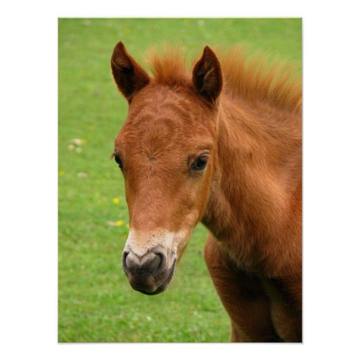 Chesnut foal, baby horse print, poster, gift idea poster