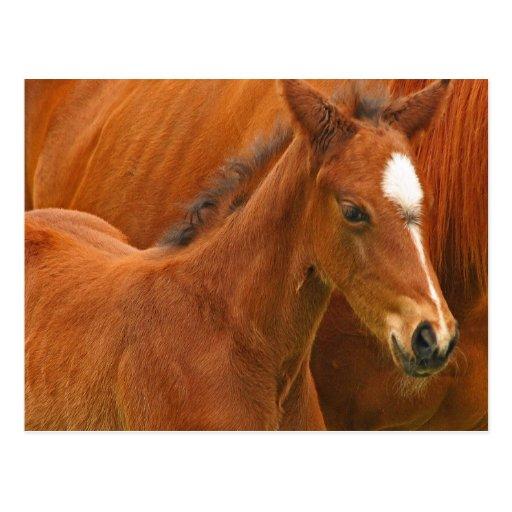 Chesnut Foal Postcard