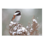 Chestnut Backed Chickadee in the Snow