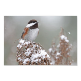 Chestnut Backed Chickadee in the Snow Photo Art