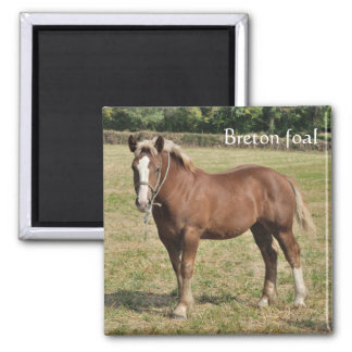 Chestnut draught horse foal square magnet