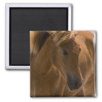 Chestnut Horse Design Square Magnet