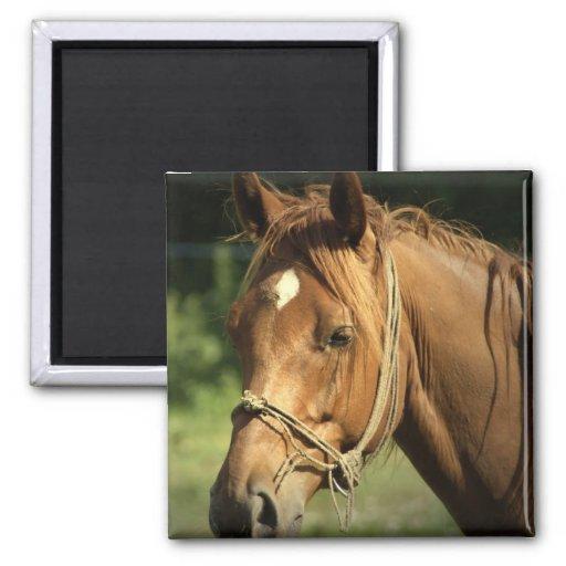 Chestnut Pony Square Magnet Fridge Magnets