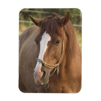 Chestnut Quarter Horse Flexible Magnet