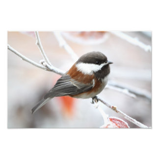 Chickadee in Winter Photo Print