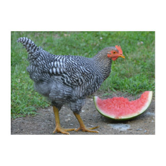Chicken Loves Watermelon Acrylic Print