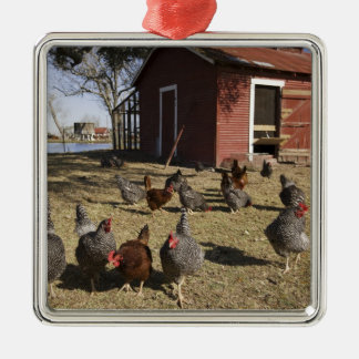 Chickens working grounds near hen house Cliburn Silver-Colored Square Decoration