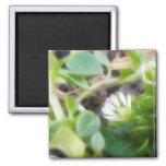 Chickweed (Stellaria media) Flowers Fridge Magnet