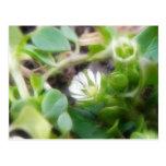 Chickweed (Stellaria media) Flowers Postcard