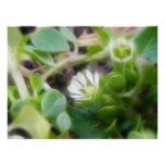 Chickweed (Stellaria media) Flowers Posters