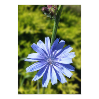 Chicory flower card