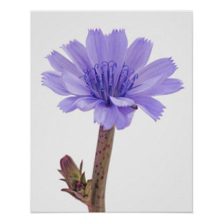 Chicory flower posters