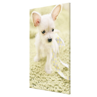 Chihuahua And Maltese Puppy Canvas Print
