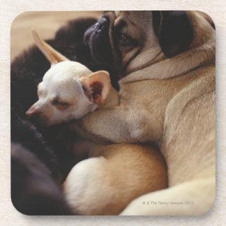 Chihuahua and Pug sleeping, close-up Beverage Coasters