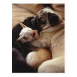 Chihuahua and Pug sleeping, close-up Post Card