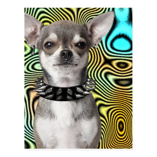 Chihuahua Dog Looking Cool Postcard