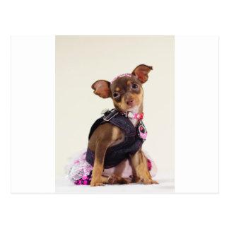 chihuahua dog range postcard
